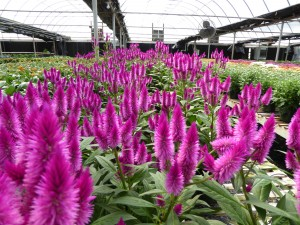 Cover photo for Cutting Production Webinar Announced for Greenhouse Growers