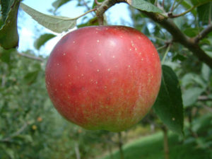 Cover photo for 2020 Apple Disease Update: Silver / Green Tip