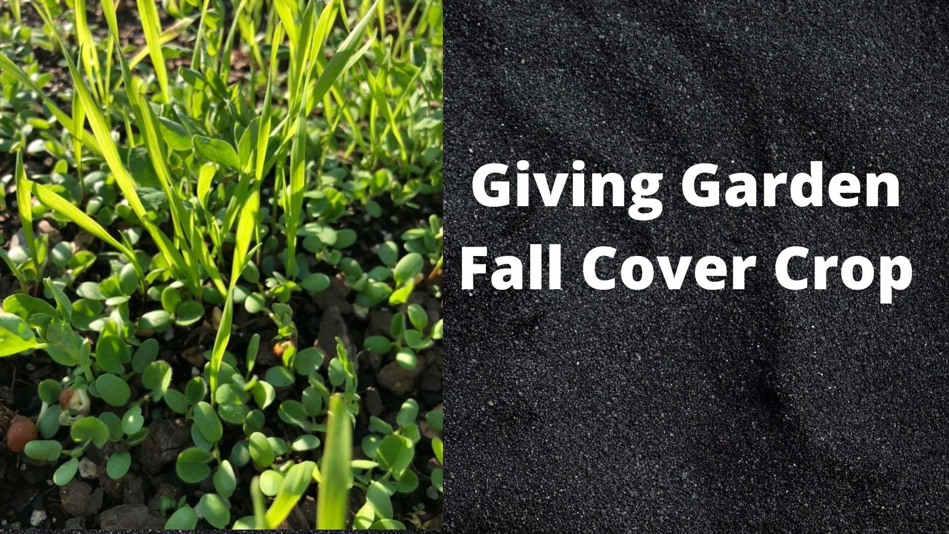 Giving Garden Fall Cover Crop Title Page with a picture of cover crop
